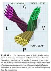 アキレス腱の構造と複数の繊維