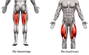 ハムストリングスと大腿四頭筋