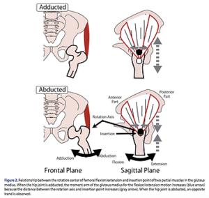 中臀筋のモーメントアームの変化