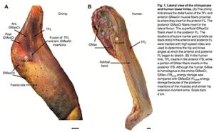 人とチンパンジーの腸脛靭帯