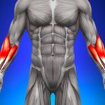 前腕の筋肉の解剖図