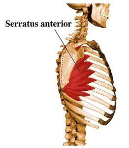 前鋸筋の横からの解剖図
