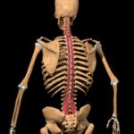 多裂筋の解剖図