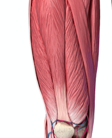 大腿四頭筋