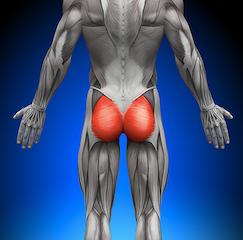大臀筋の解剖図