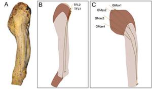 腸脛靭帯と周辺の筋肉