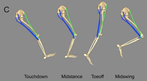 腸脛靭帯の骨格筋モデル