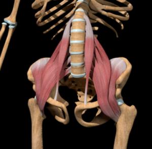腸腰筋の解剖図