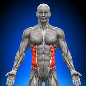 腹斜筋の解剖図