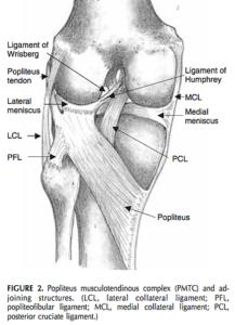 膝窩筋の解剖図