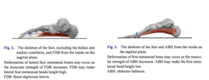 短指屈筋と母趾外転筋
