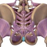 骨盤の靭帯