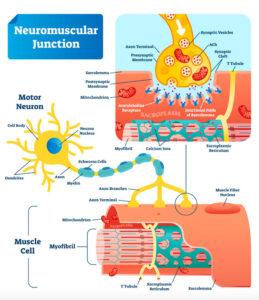 筋肉と神経