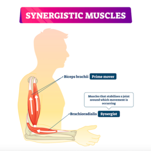筋肉のシナジー