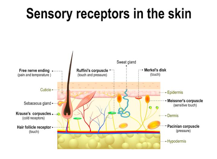 皮膚の感覚器の種類