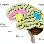 前帯状皮質Anterior cingulate cortex
