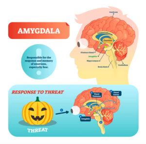 扁桃体と脳の解剖